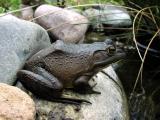 Bullfrog_right_4_15_05.jpg