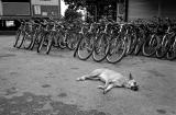 Sleeping Dog and Bicycles
