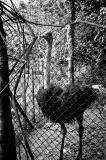 Pet Ostrich