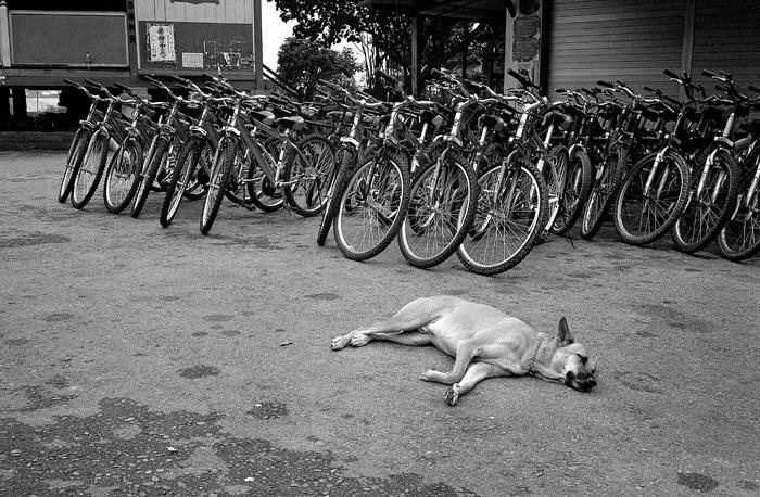 Sleeping Dog and Bicycles