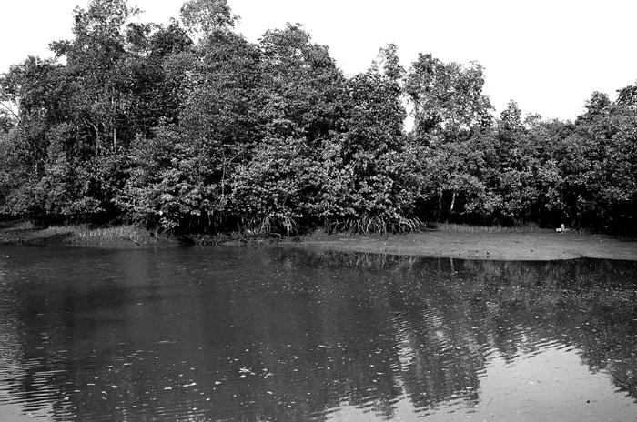 Mangrove Swamp II