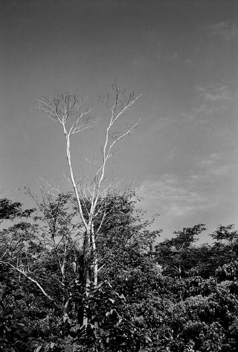 Moribund Tree