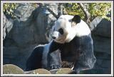 Panda - IMG_1090.jpg