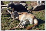 Kangaroo - IMG_1119.jpg