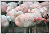 Flamingo - IMG_1133.jpg