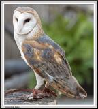 Owl - IMG_1150.jpg