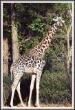 Giraffe - IMG_1161.jpg