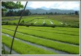 Rice field / Lanna Thai