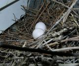 Mourning Dove Nest & Eggs