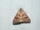 Forage Looper Moth (Caenurgina erechtea) [Noctuidae , Catocalinae]