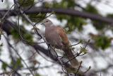 Ring Neck Turtle Dove Variant - Yard