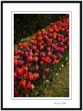Yerres, tulips