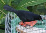 White-lined Tanager,male