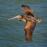 Brown Pelican in Flight 5049