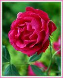 Churchyard Rose on a Busy Brooklyn Street