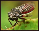 Black and Red Leaf Hopper