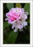 Winter rhododendron