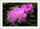 Deep pink rhododendron ~ Stourhead