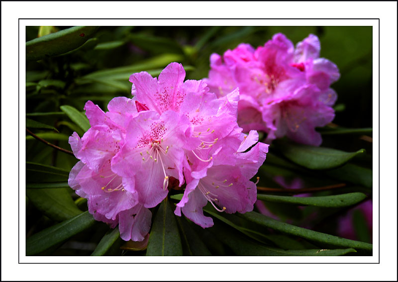Deep pink rhododendron ~ Stourhead