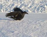 Raven in softsnow, late afternoon