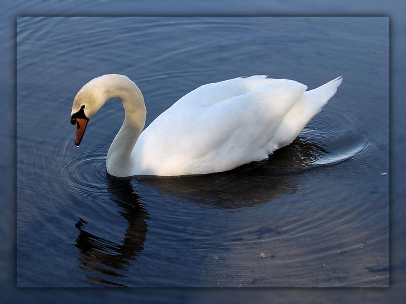 Swan-244