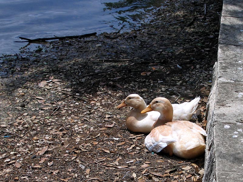Ducks431