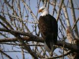 Bald Eagle 0105-10j  Naches River