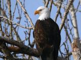 Bald Eagle 0105-9j  Naches River