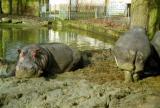 Dunlopillo, rayon hippo