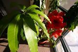 2005-01-25: Mango & Amaryllis