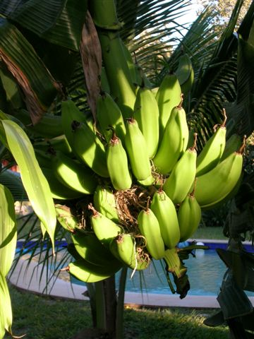 banana tree in front of our room and then you see the pool