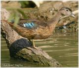 Wood Duck Female Juvenile
