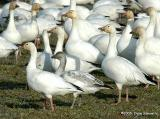 Snow Geese  4717