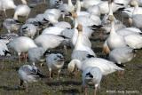 Snow Geese 4723