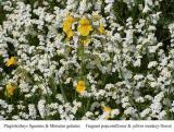 Fragrant popcornPlagiobothrys figuratusBoraginaceae