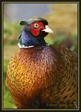 Pheasant (Phasianus colchius)