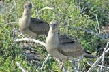 Red-Footed Boobies (Juvenile)