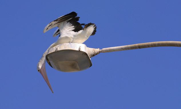 Australian white pelican sitting on a post