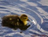 Muscovy Duckling