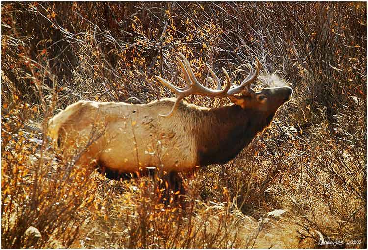 Elk-Bull-#2.jpg