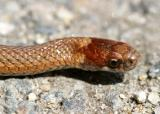 brown phase Northern Red-bellied Snake - Storeria occipitomaculata occipitomaculata