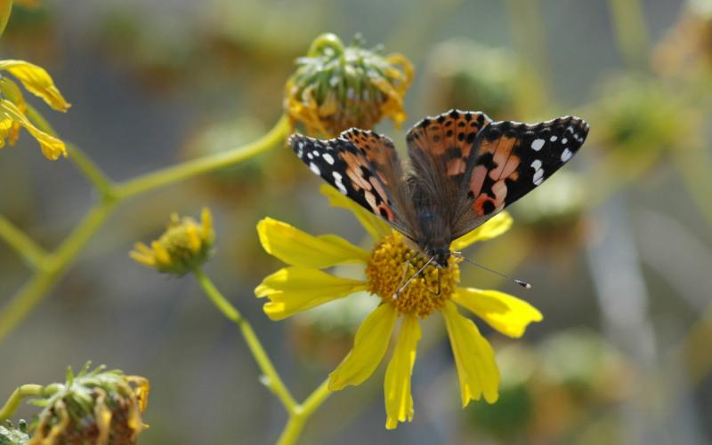 Painted Lady 07