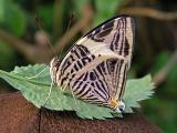 Colobura dirce butterfly