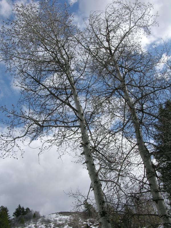 Aspen in the Early Spring DSCN5859.JPG