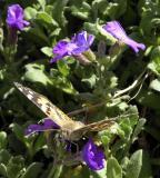 ISU Admin Bldg butterfly DSCN5934.jpg
