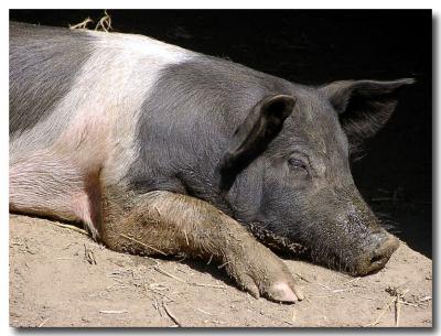 Piggy Nap