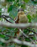 rose-throated becard female