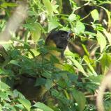 crimson-collared grosbeak female