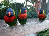 Lorikeets (Australian parrots)