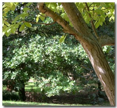 Elm  & Oak